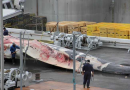Iceland resumes fin whaling of endangered species for 'commercial purposes'
